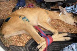 В Димитровграде ветеринарные врачи оказали дикой косуле неотложную помощь