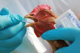 Угроза заноса птичьего гриппа остается высокой