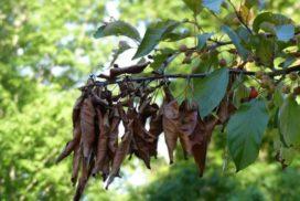 На территории Карсунского района подтвердился бактериальный ожог плодовых