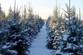 В Ульяновской области началась заготовка рождественских деревьев